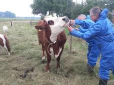 Verwaarlozing vee? OM treedt hard op in Oost-Nederland