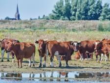 Eén van laatste kuddes pal voor deur slachthuis gered, nu maakt Brandrode rund comeback als natuurbeheerder