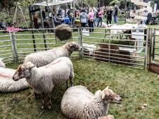 Hoofdrol voor kudde schapen op tweede editie Oerfestival De Maashorst: wie loopt er met de dieren mee?