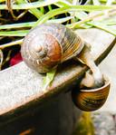 Geven en nemen, het paren van slakken. Ze zijn hermafrodiet.