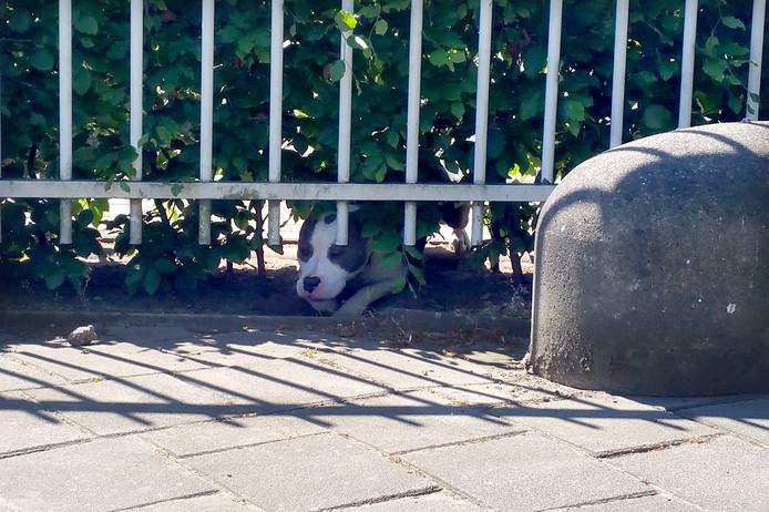 Pitbull heeft verschillende mensen gebeten op het Spinveld in Breda
