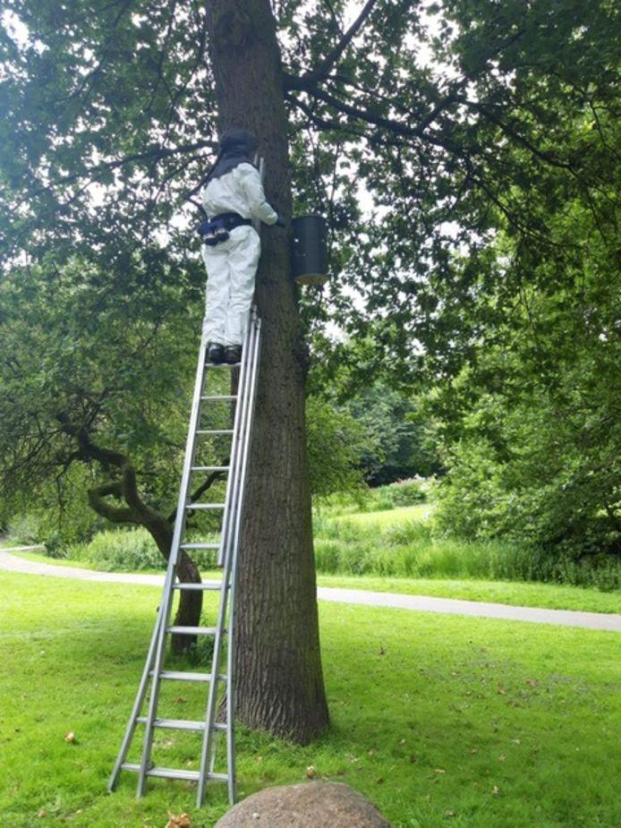 De vlinderfilterkasten, het nieuwe wapen in de strijd tegen de eikenprocessierups, zijn hoog in tien bomen opgehangen.