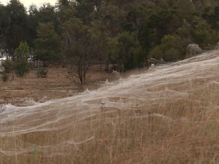 Spinnen maken gigantisch web tegen overstroming