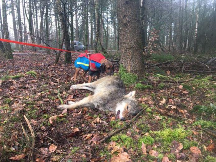 De jonge wolf die in maart 2020 werd doodgereden tussen Epe en Nunspeet.