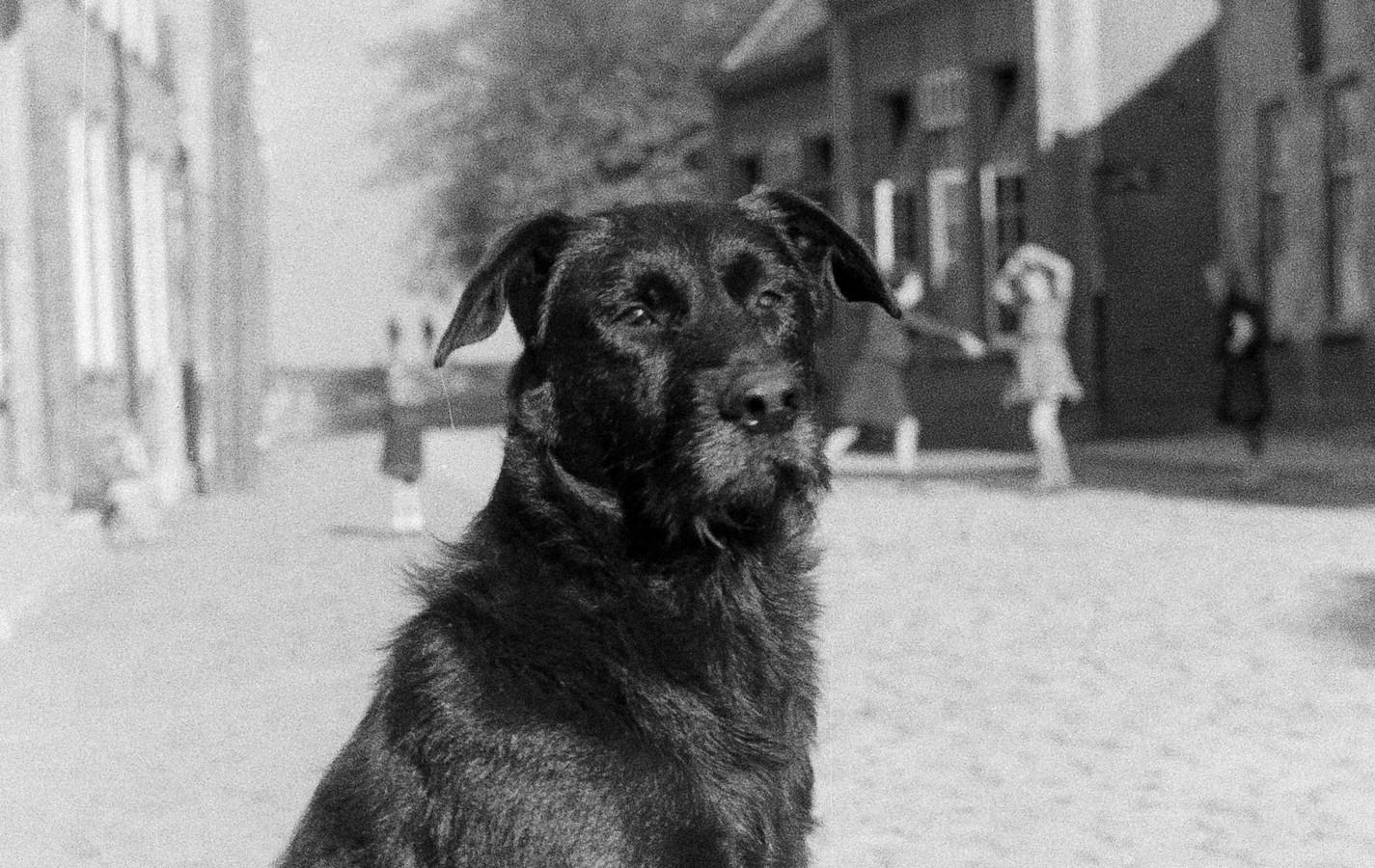 Een loslopende hond was voor de hondenbelasting vijf keer duurder dan een die niet op zijn eigen houtje de buurt in kon (foto Megen 1945).