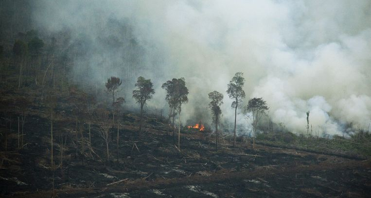 De wouden worden opzettelijk in brand gestoken om nieuwe plantages palmoliebomen aan te leggen. Beeld AFP
