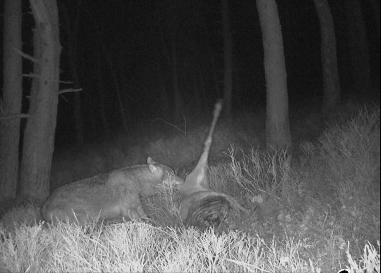 Wolf GW1608m vrat in maart aan een dood edelhert op de Veluwezoom.