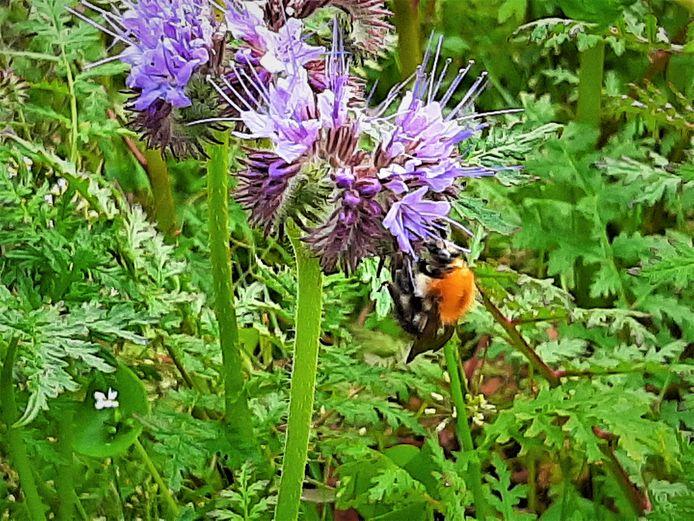 Hommels en wilde bijen. Het aantal soorten neemt drastisch af.