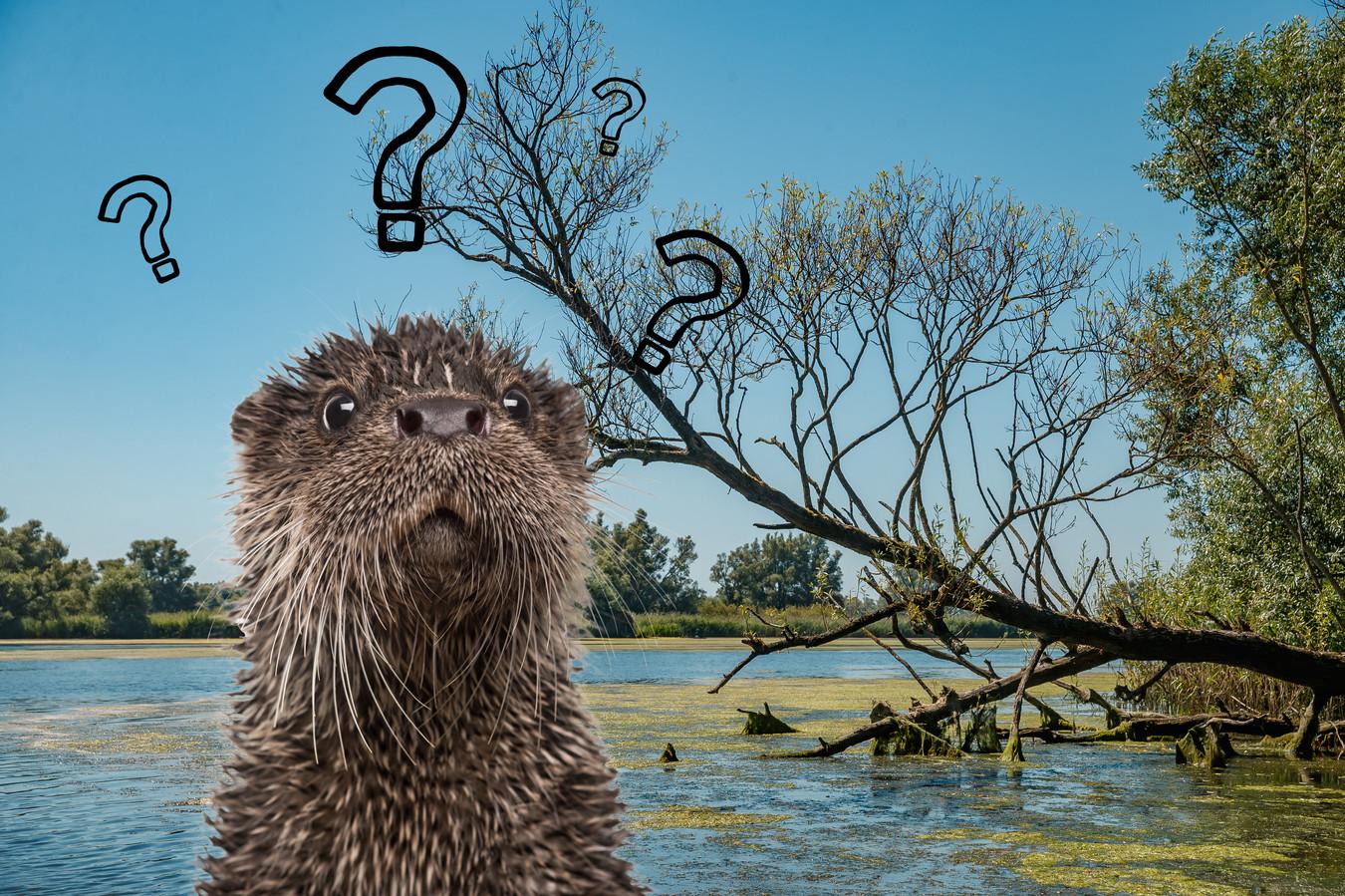 Komt de otter naar de Biesbosch?
