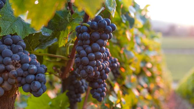 Noodweer tast ook de Belgische wijnranken aan