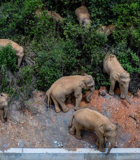 Zwervende olifanten groeien uit tot internetsterren: 'Ik wil ze instoppen onder een dekentje'