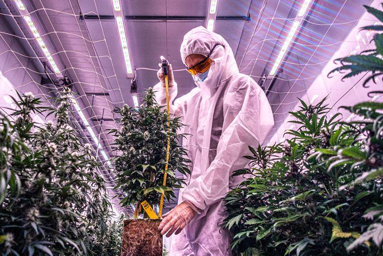 Eric Uleman: 'Als er op het potje staat dat er 10 procent THC in zit, dan moet de bloem dat ook exact bevatten.' Beeld Joris van Gennip