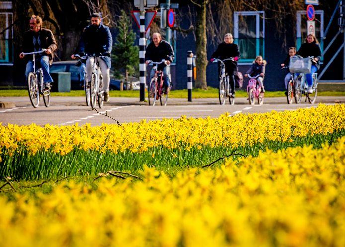 Een zee van narcissen in bloei langs de Krispijnseweg in Dordrecht.