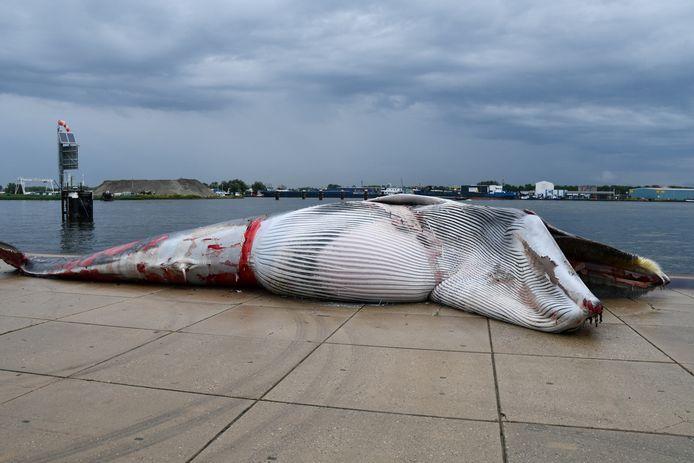 Un rorqual commun mort gît sur le quai du port de Terneuzen après avoir été trouvé sur la proue d'un navire.
