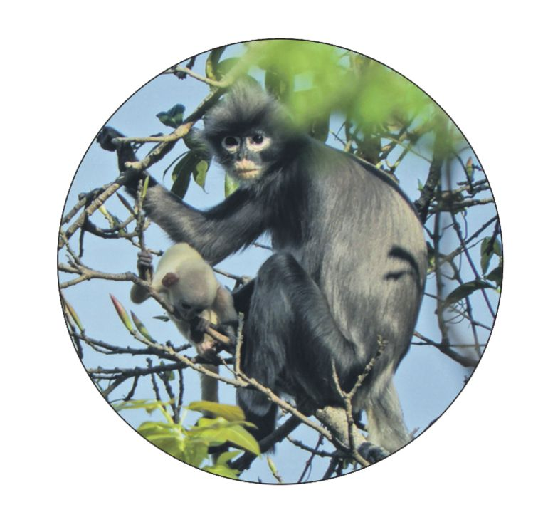 Popa langur (Trachypithecus popa)  Beeld AFP