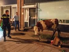 Ontsnapte koe rent door straten van Alblasserdam