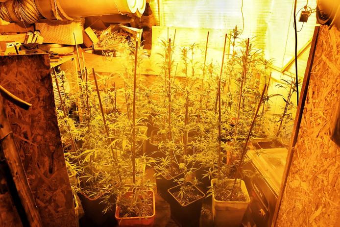 Het gaat naar schatting om vijftienhonderd planten.