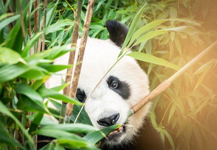 Moeten ook de panda's in Rhenen op een houtje bijten?
