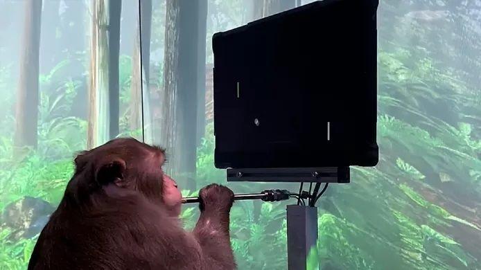 Elon Musk a chargé l'une de ses entreprises, Neuralink, d'implanter une puce dans le cerveau d'un singe afin de diriger son comportement.