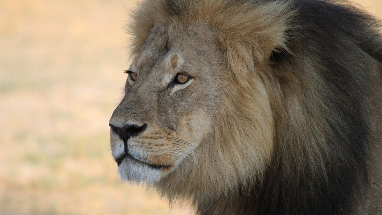 Leeuw Cecil. Beeld PHOTO_NEWS