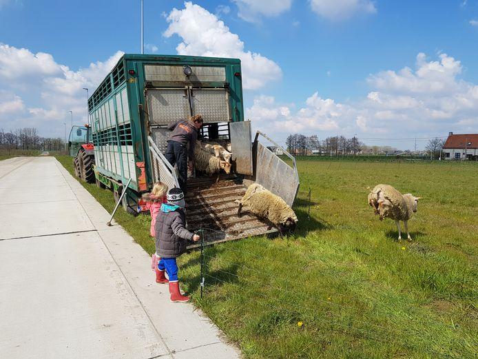 De schapen werden maandag losgelaten in De Prijkels.