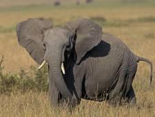 La demande chinoise à l'origine du massacre des éléphants d'Afrique