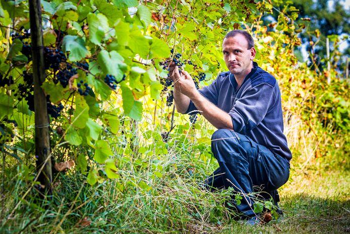Wouter in zijn wijngaarden in Simonshaven. De oogst valt dit jaar vies tegen.