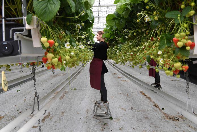 MOERSTRATEN,   Jan Stads / Pix4Profs.  Rubriek van West-Brabantse bodem Aardbeidenbedrijf Loos op de Luienhoekweg 1