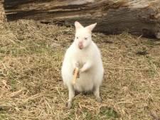 Wallaby (1) uit Eede ontsnapt en al 8 dagen op de vlucht. 'Hij kan doodvallen van de stress'