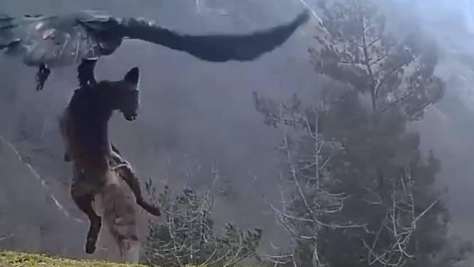 Spectaculaire beelden: adelaar neemt hele vos mee