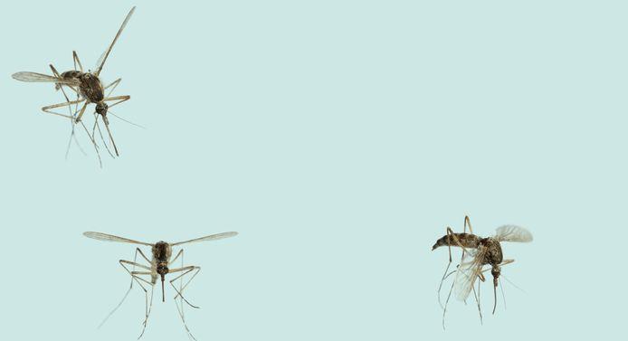 Muggen.