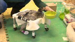 Kreupele kip kan toch rondwandelen dankzij deze rolstoel