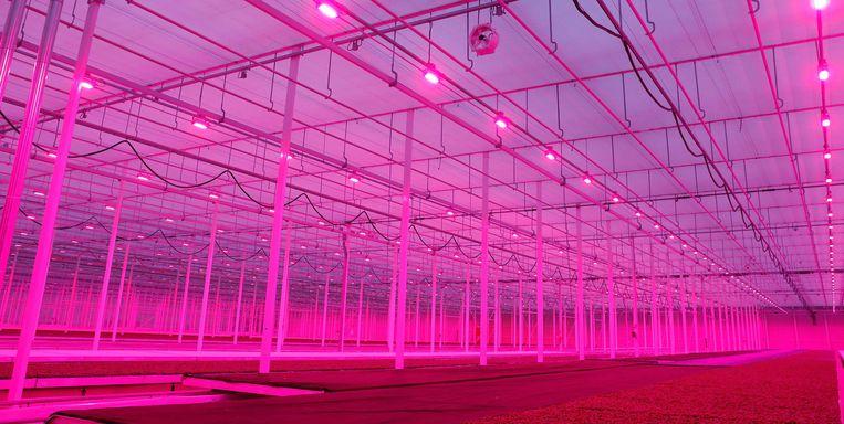 Tuinder Koppert Cress in Monster maakt sinds begin januari gebruik van LED-verlichting. Beeld ANP
