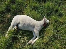 Kans dat lammeren in Ede gedood zijn door wolf erg klein: 'Geen signalen voor'