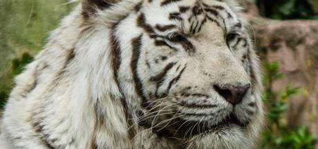 Witte tijger overleden in DierenPark Amersfoort
