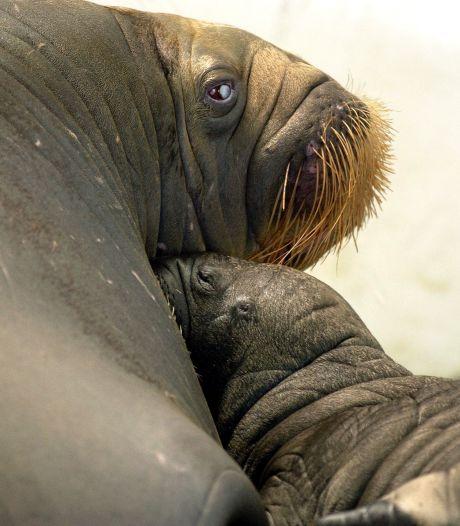 Dolfinarium wuift kritiek op verhuizing walrussen naar China weg: 'Park voldoet aan strenge regels'