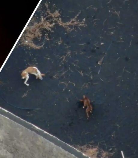 Eerste videobeelden van geredde honden die vastzaten tussen lava op La Palma