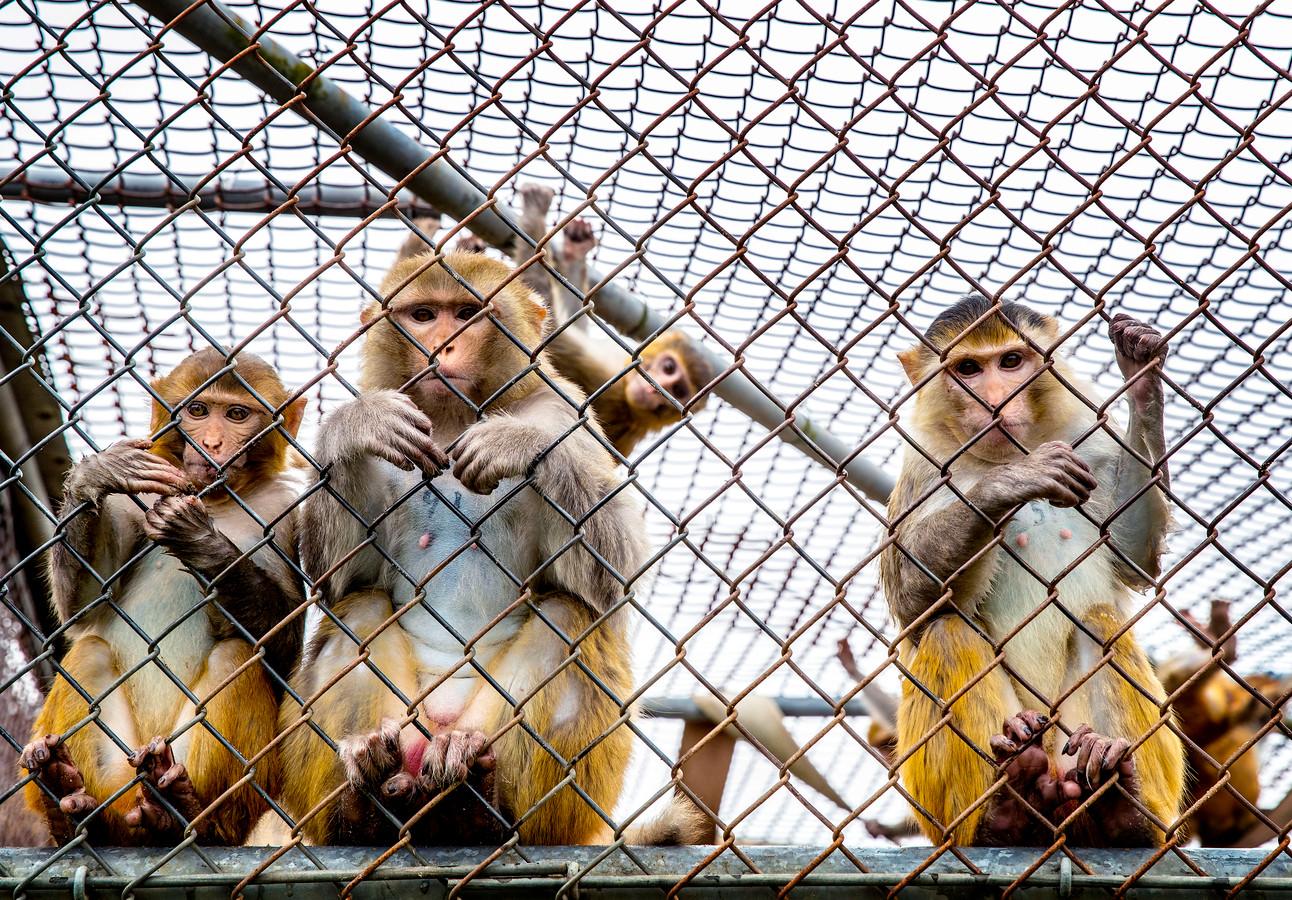Apen in het Biomedical Primate Research Centre (BPRC) in Rijswijk.