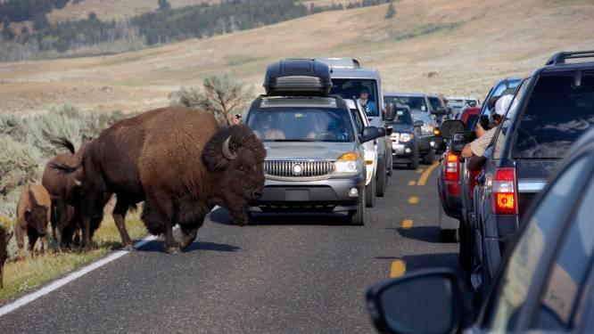 Vrouw (72) waagt zich te dicht bij bizon voor foto's en wordt gespietst