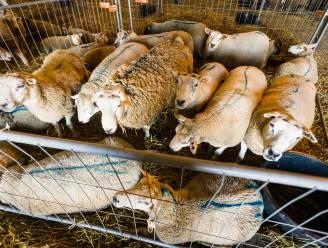 Kwart minder dieren geslacht voor Offerfeest, maar 92% wel onverdoofd