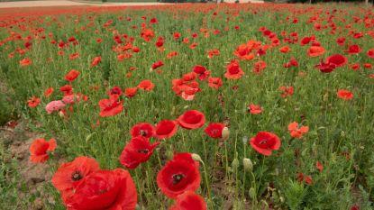Klaprozenveld herdenkt slachtoffers Eerste Wereldoorlog