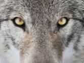Dit moet je doen als je oog in oog met een wolf komt