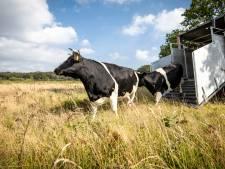 Deze koeien zijn zeldzamer dan panda's én terug in Twente: 'Duurzamer dan een grasmaaier'