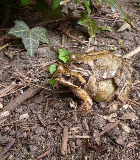 Hier zoekt de Dierenbescherming hulp voor parende padden