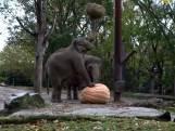 Blijdorp verwent olifanten met gigantische halloweensnack