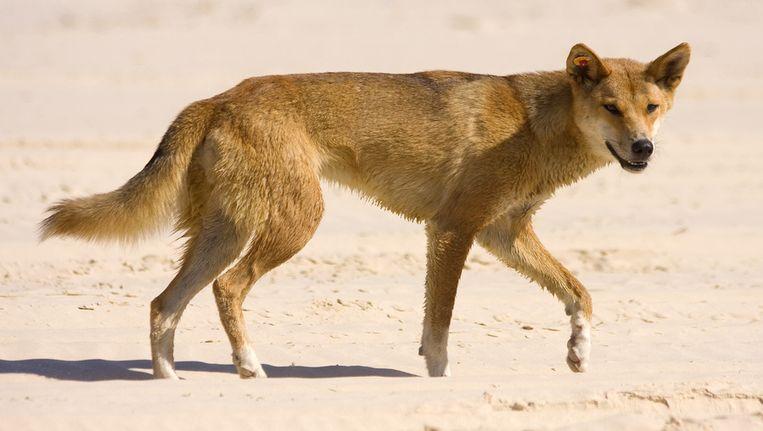 Een dingo. Beeld Thinkstock