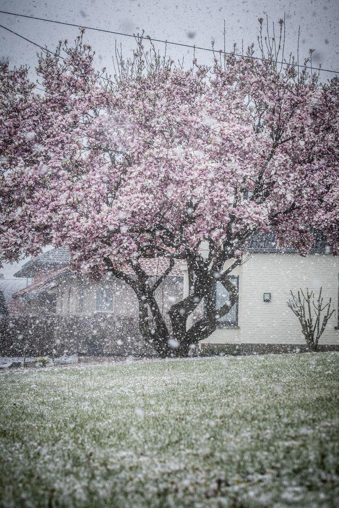 Nog meer winterse bloesems in Lummen.