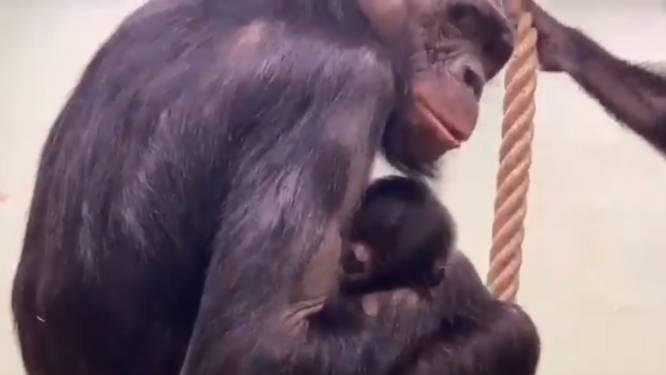 Nieuwjaarsbaby voor bonobo's in Zoo Planckendael