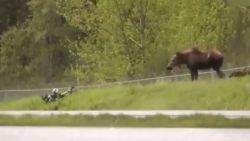 Boze eland jaagt fietser van fietspad
