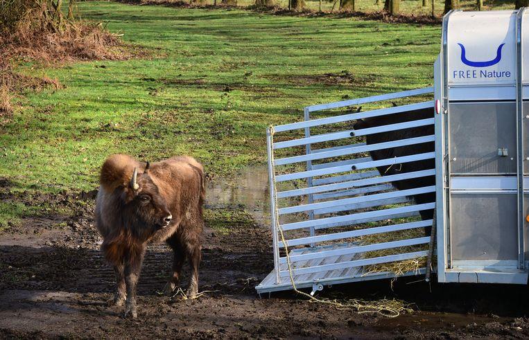 Europese bizons, losgelaten in het Zeeuwse natuurgebied Slikken van de Heen. Beeld Marcel van den Bergh / de Volkskrant